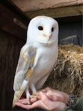 Barn Owl, male