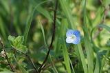 Petite fleur bleue / little blue flower