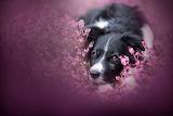 Black dog pink flowers