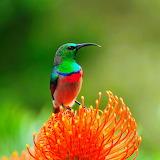 *Collared Sunbird...