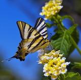Mariposa Butterfly...