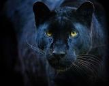 Cats - Leopard