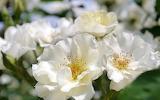 Flower garden plant (301)