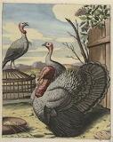 Coq d Inde Estampe 435