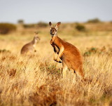 Animals - Red Kangaroo