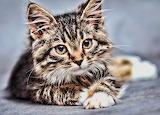 American bobtail kitten