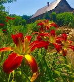 Wild lillies (2)
