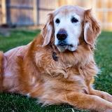 Handsome Golden Retriever...