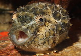 "Science tumblr montereybayaquarium ""Spiny lumpsucker"""