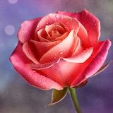 Beautiful Rose...