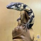 Australian Monitor Lizard