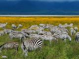 Zebras, Tanzania...