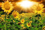 Sunflowers Sunrises and sunsets Fields