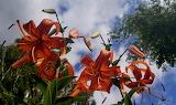 Orange lilies in sky