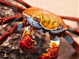 #Sally Lightfoot Crab Galapagos Islands by Erika Phillips