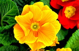^ Yellow Primrose