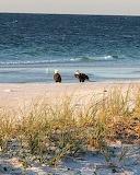 Bald Eagles at Pensicola Beach, FLA