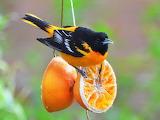 Boltimore oriole bird