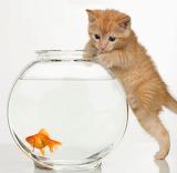 Cute-orange-kitten-cat