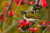 Blue-faced honeyeater with Red Silk Cotton Flowers CC0