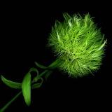 Green Pompom, Magda Indigo