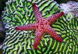 Marble starfish on brain coral