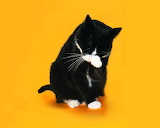 Colours-colorful-black-cat-yellow background