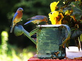 Eastern Bluebirds Meal Time