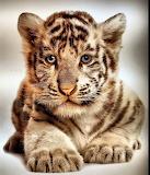 TigerCub