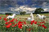 Horses in Poppy field