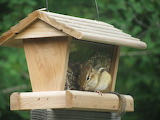 Chipmunk in Birdfeeder