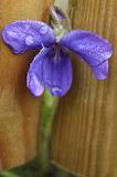 Violette / Violet 02