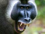 #African Baboon