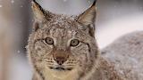 Fantastic lynx