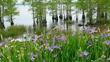 louisiana swamp flower