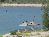Turkey Vultures at the Quarry