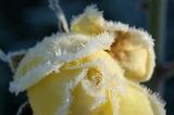 Rose givrée /Frozen Rose