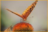 Butterflies on a cone flower