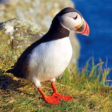 *Atlantic Puffin...