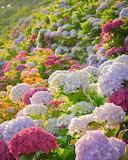 Field of Hydrangea