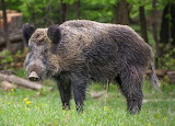 WM Boar 1