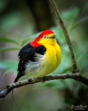 ^ Wire-tailed Manakin (Pipra filicauda)Colombia
