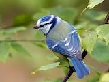 Eurasian blue tit bird