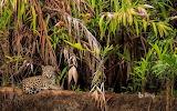 Jaguar in the Pantanal Wetlands in Brazil