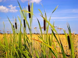 Bullrushes on the edge of the cornfield