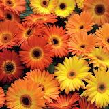 ^ Yellow-Orange Gerbera