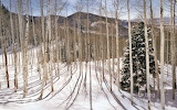 Aspen forest in the Wasatch Mountains. Utah