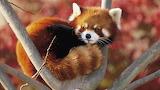 Red-Panda-Beautiful-Animal-Wallpapers-800x450