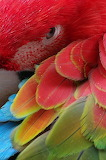 Close-up of Scarlet Macaw's Feathers
