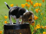 Curious beagle puppy yellow spring flower